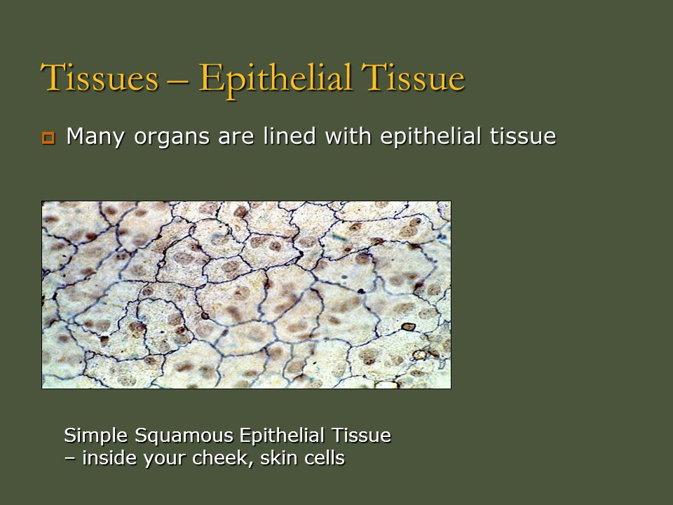 Tissues – Epithelial Tissue