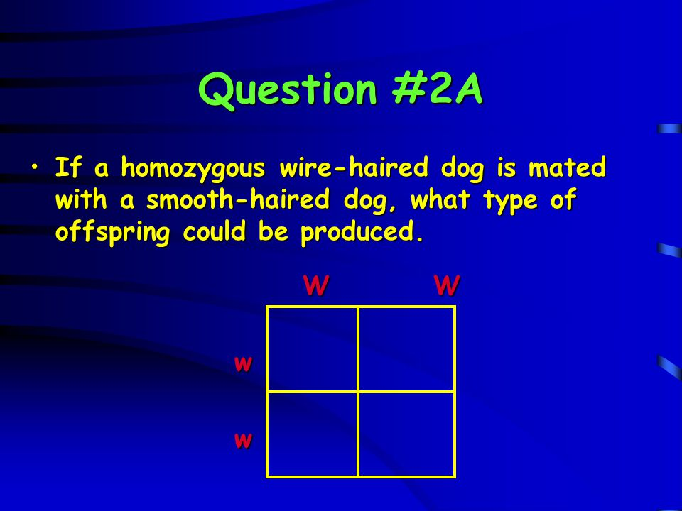 Question #2A If a homozygous wire-haired dog is mated with a smooth-haired dog, what type of offspring could be produced.
