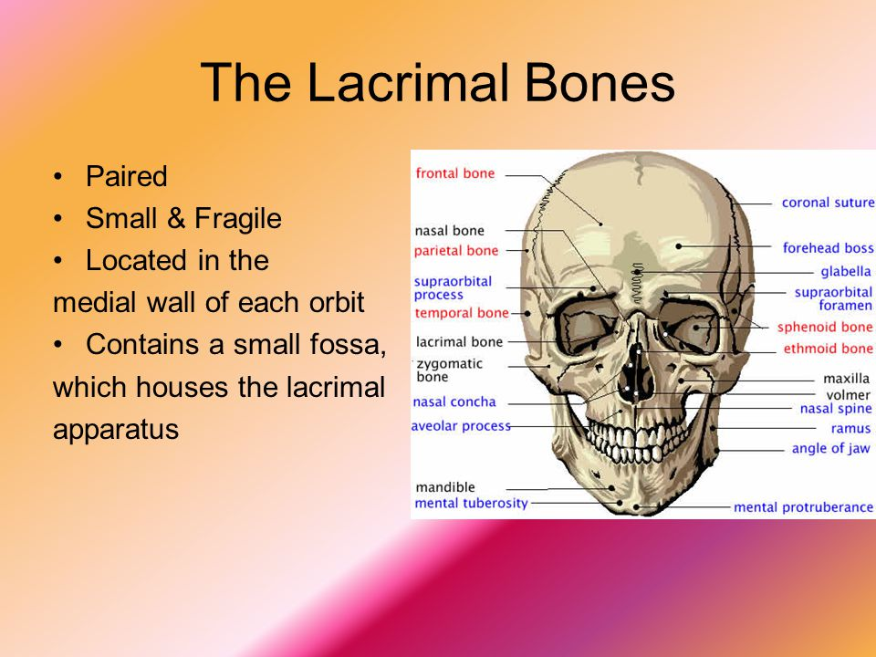 The Lacrimal Bones Paired Small & Fragile Located in the
