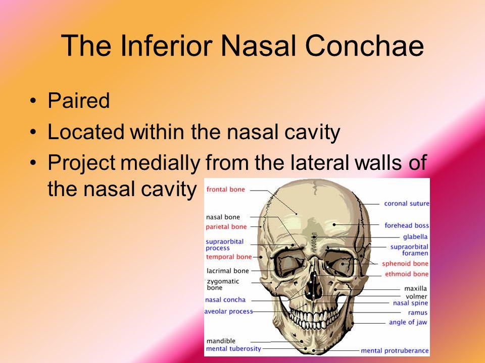 The Inferior Nasal Conchae