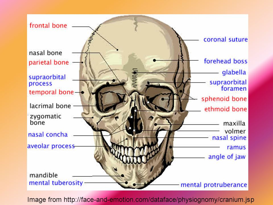 Image from http://face-and-emotion. com/dataface/physiognomy/cranium