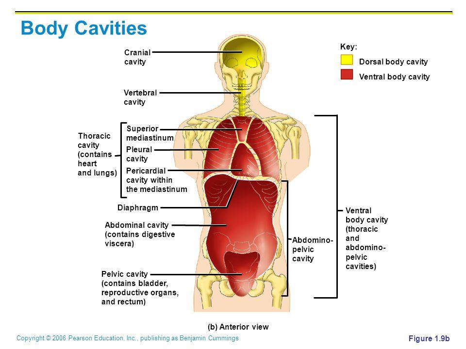 Body Cavities Key: Cranial Dorsal body cavity Ventral body cavity