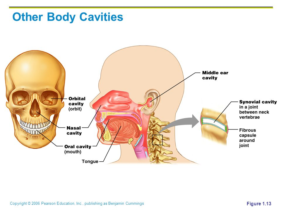 Other Body Cavities Figure 1.13