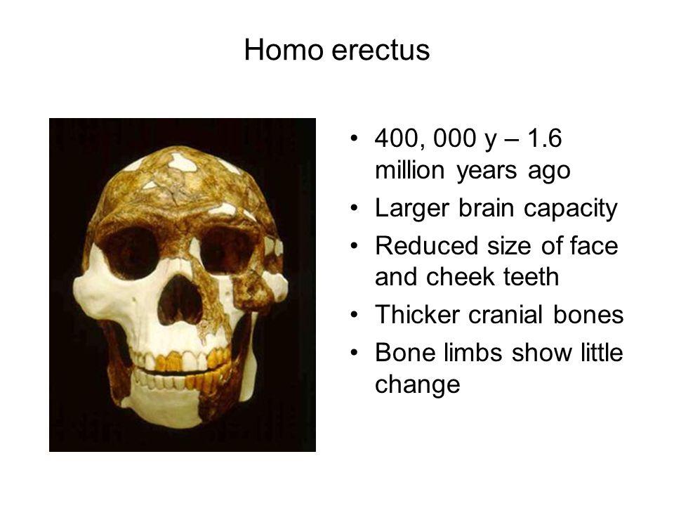 Homo erectus 400, 000 y – 1.6 million years ago Larger brain capacity