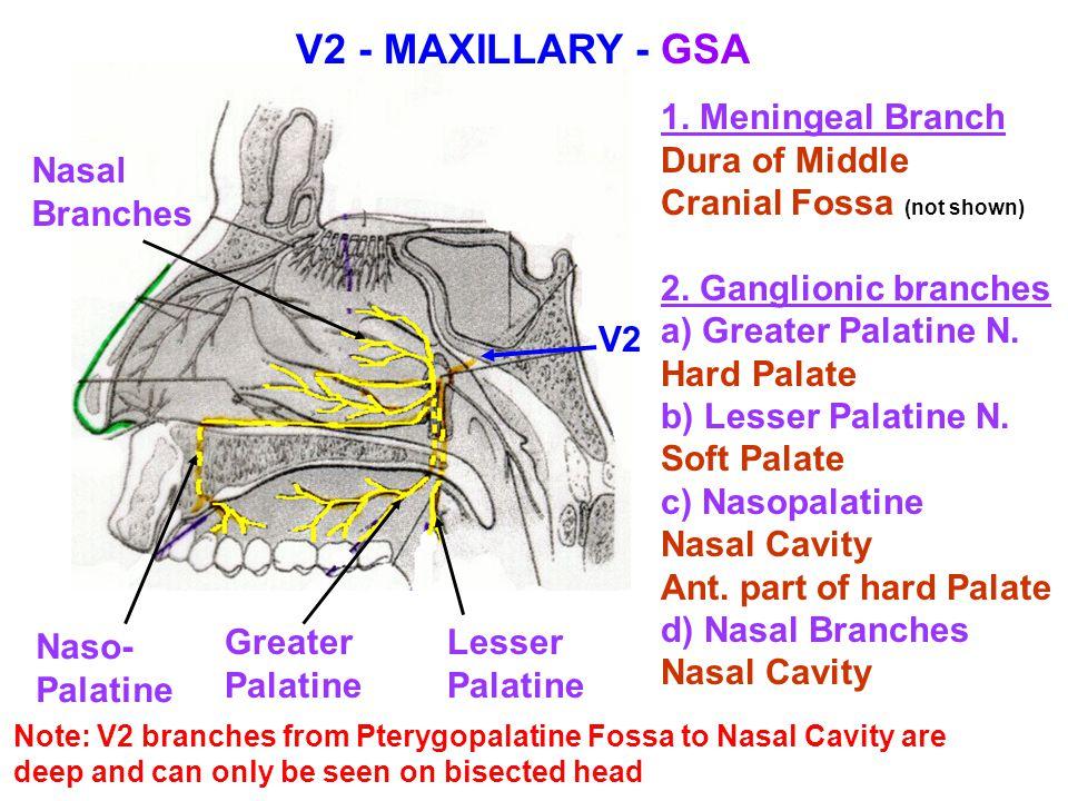 V2 - MAXILLARY - GSA 1. Meningeal Branch Dura of Middle