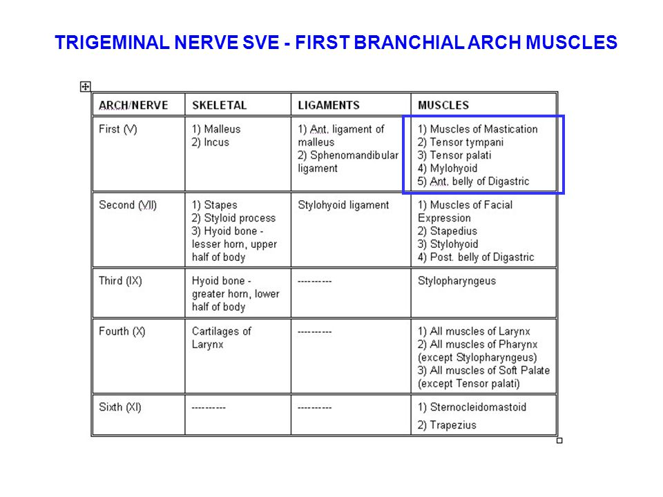 TRIGEMINAL NERVE SVE - FIRST BRANCHIAL ARCH MUSCLES