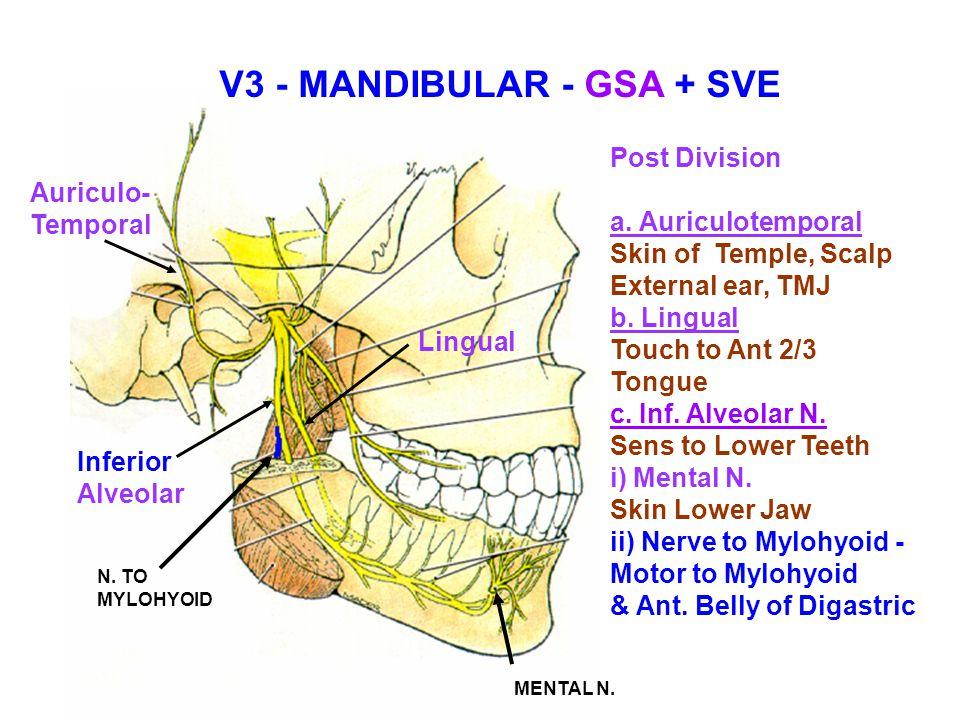 V3 - MANDIBULAR - GSA + SVE