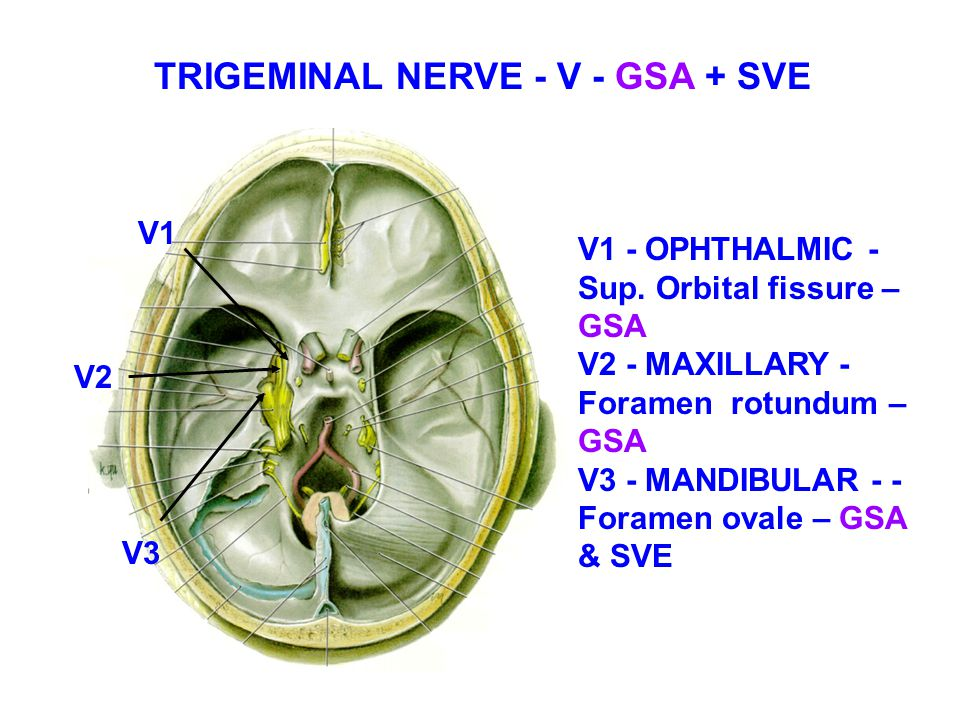 branches of the trigeminal nerve all branches of
