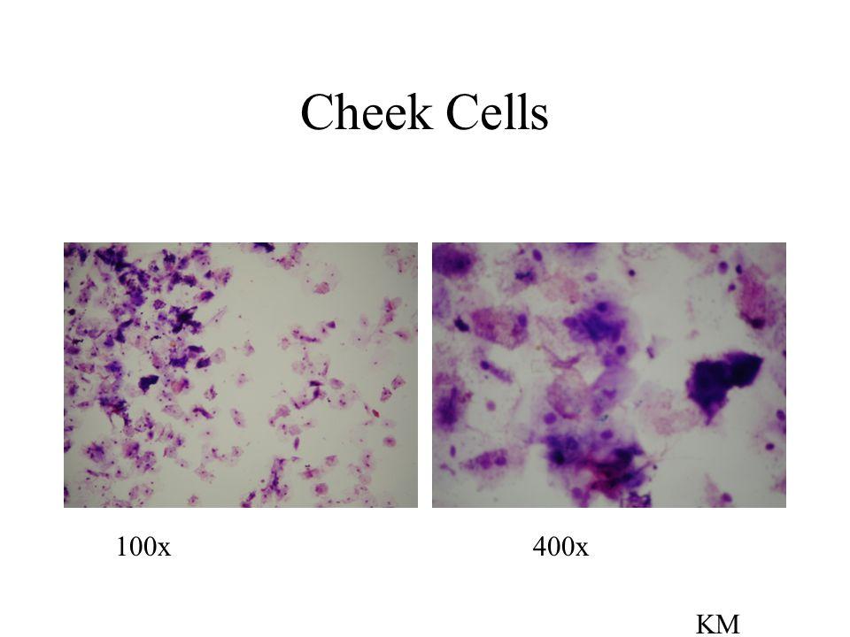 Cheek Cells 100x 400x KM
