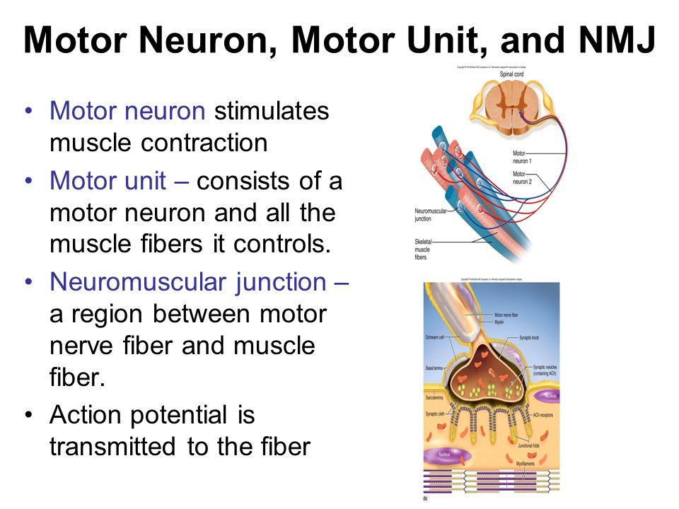 Motor Neuron, Motor Unit, and NMJ