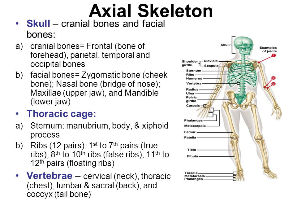 Axial Skeleton Skull – cranial bones and facial bones: Thoracic cage: