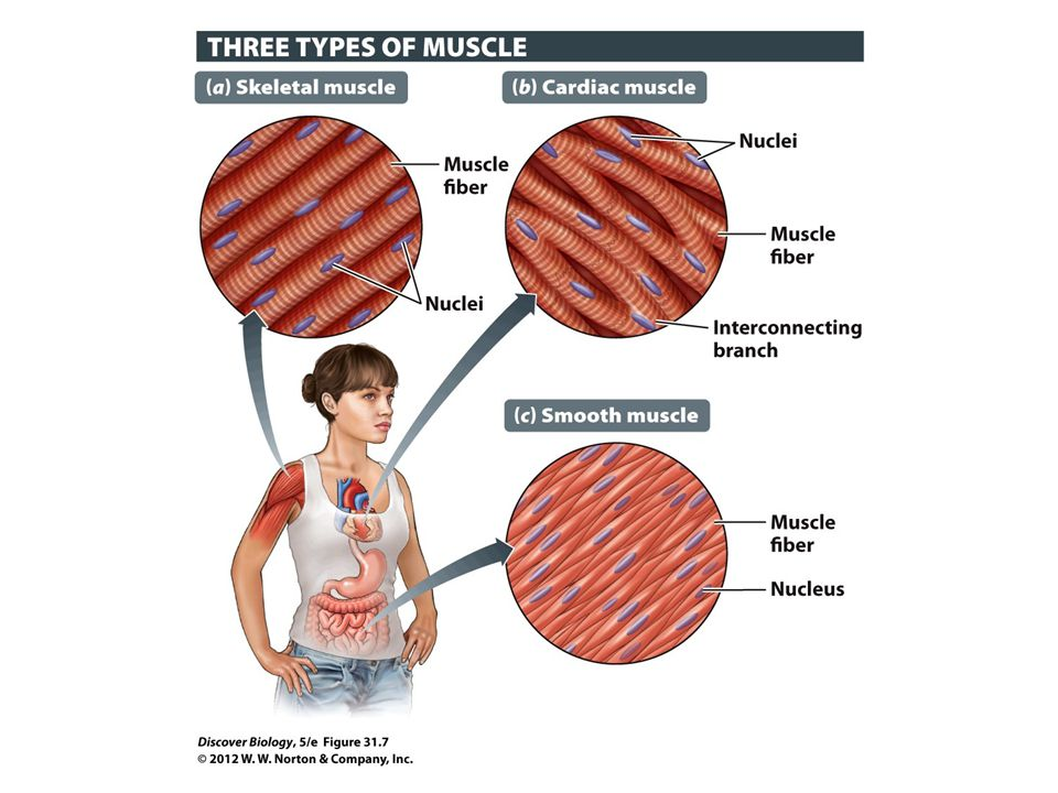 Figure 31.7 Specialized Types of Muscles for Different Types of Movement