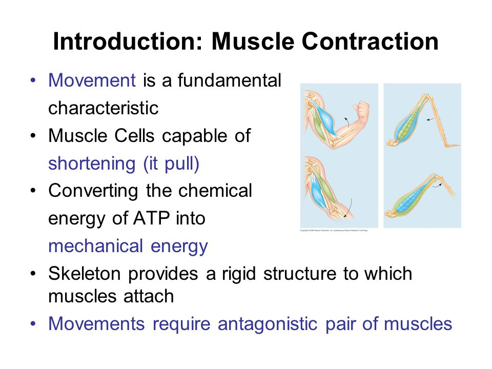 Introduction: Muscle Contraction