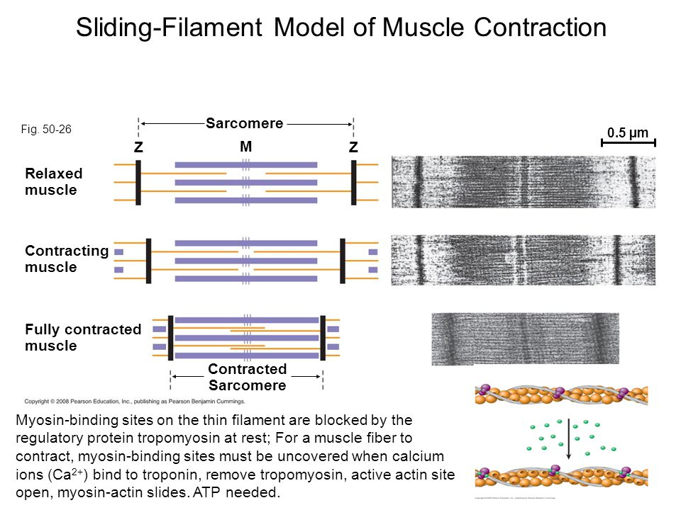 Sliding-Filament Model of Muscle Contraction