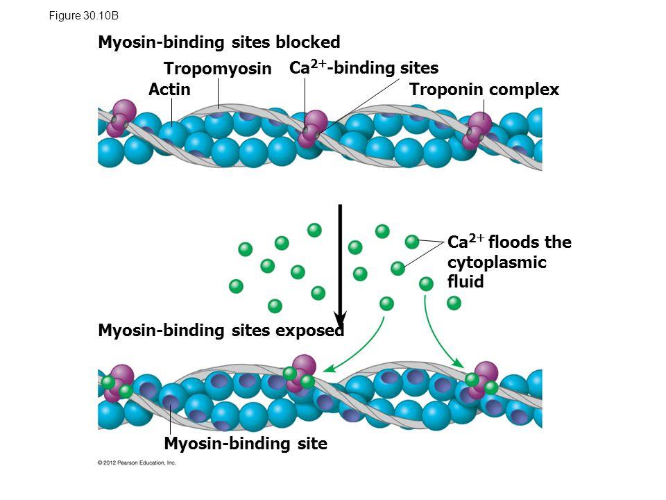 Myosin-binding sites blocked