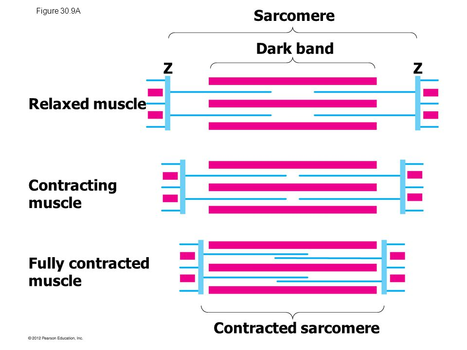 Sarcomere Dark band Z Z Relaxed muscle Contracting muscle