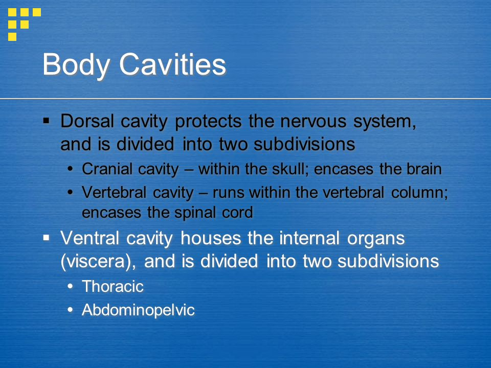 Body Cavities Dorsal cavity protects the nervous system, and is divided into two subdivisions. Cranial cavity – within the skull; encases the brain.