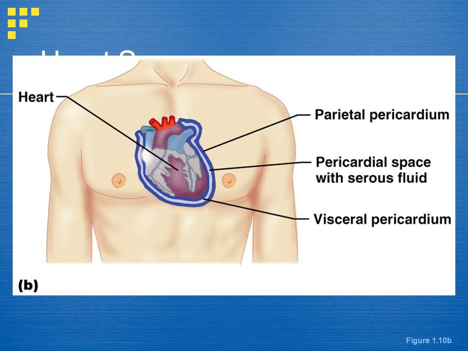 Heart Serosae Figure 1.10b