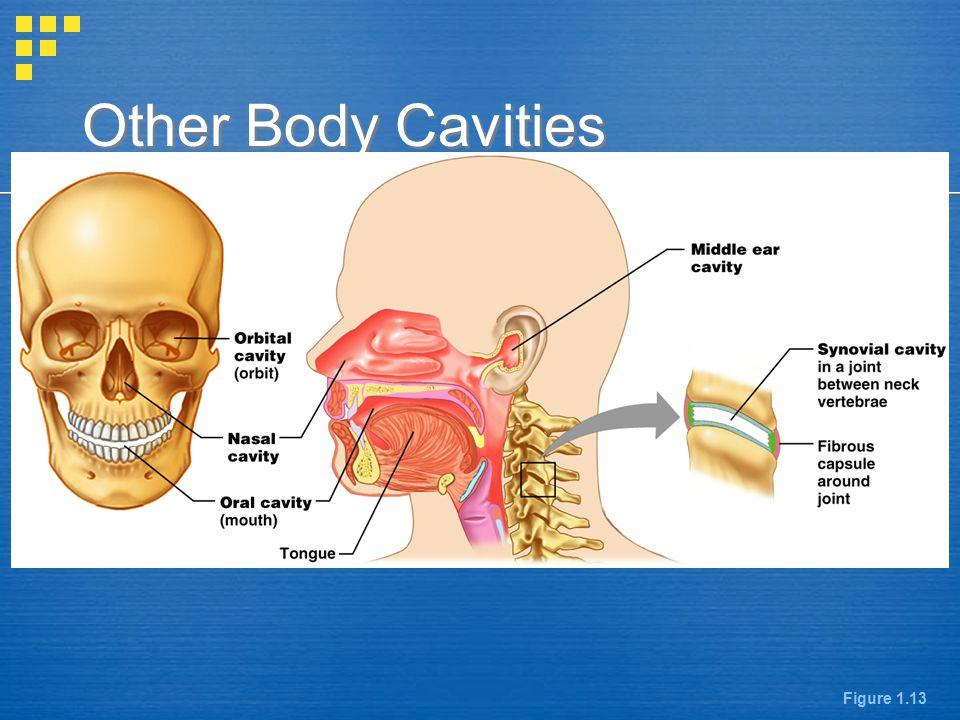 Other Body Cavities Figure 1.13