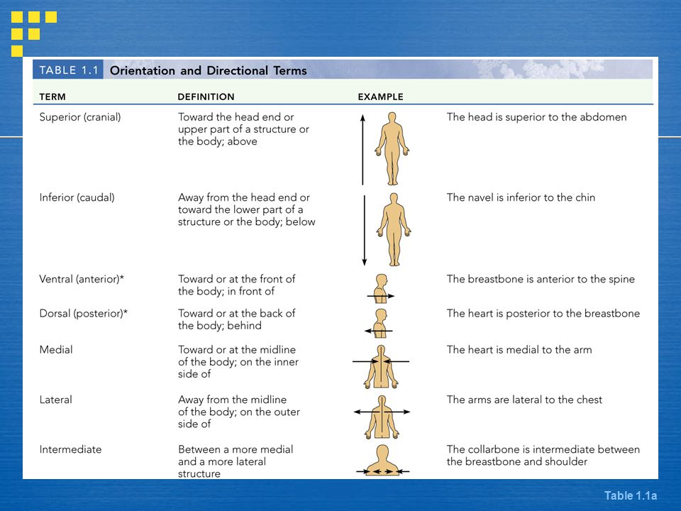 Directional Terms Table 1.1a