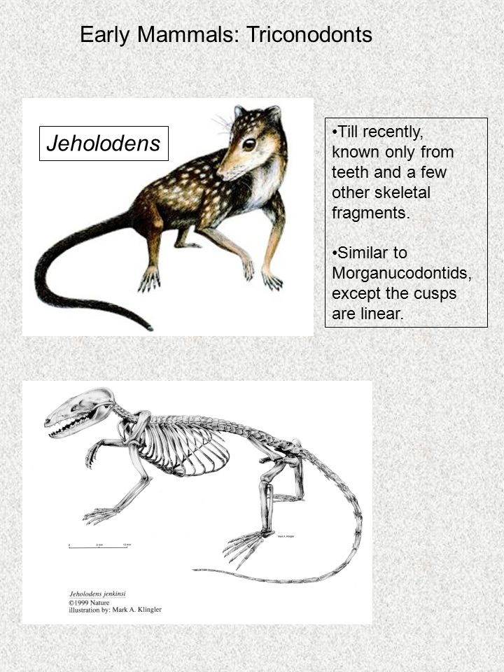 Early Mammals: Triconodonts