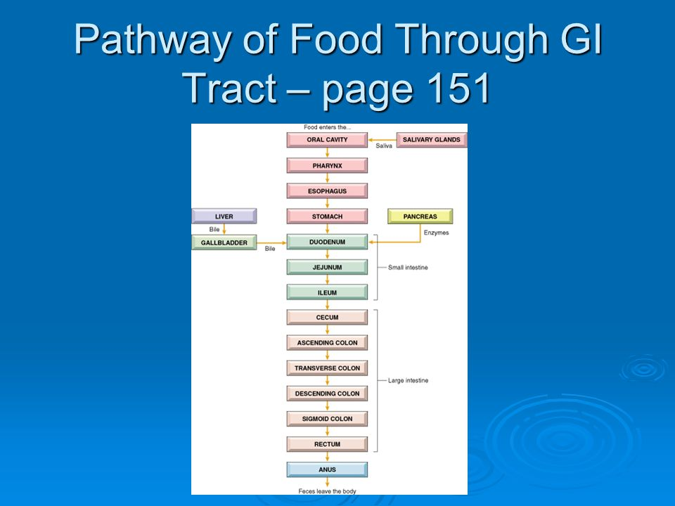 Pathway of Food Through GI Tract – page 151