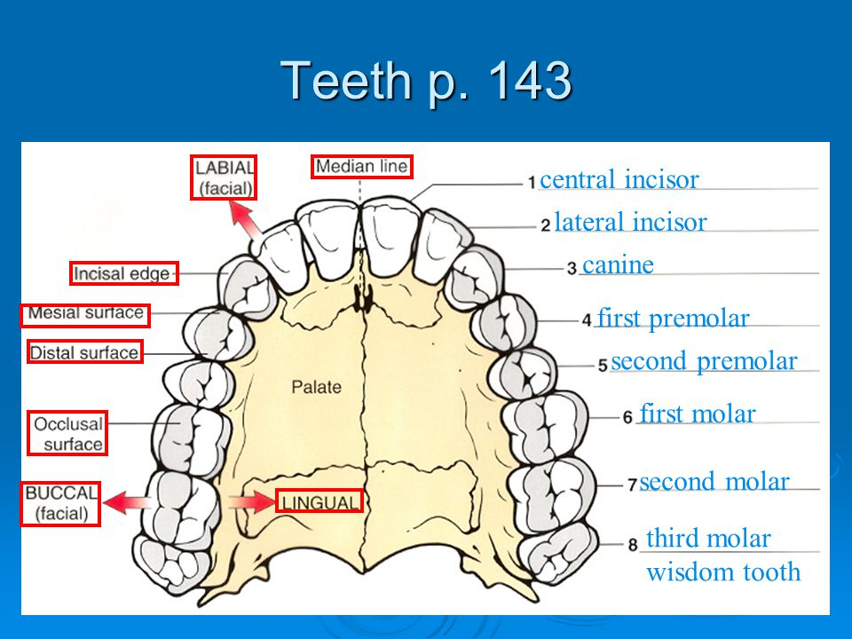 Teeth p. 143 central incisor lateral incisor canine first premolar
