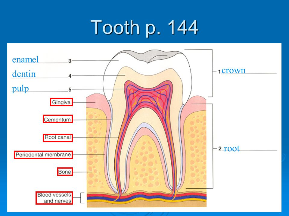 Tooth p. 144 enamel crown dentin pulp root