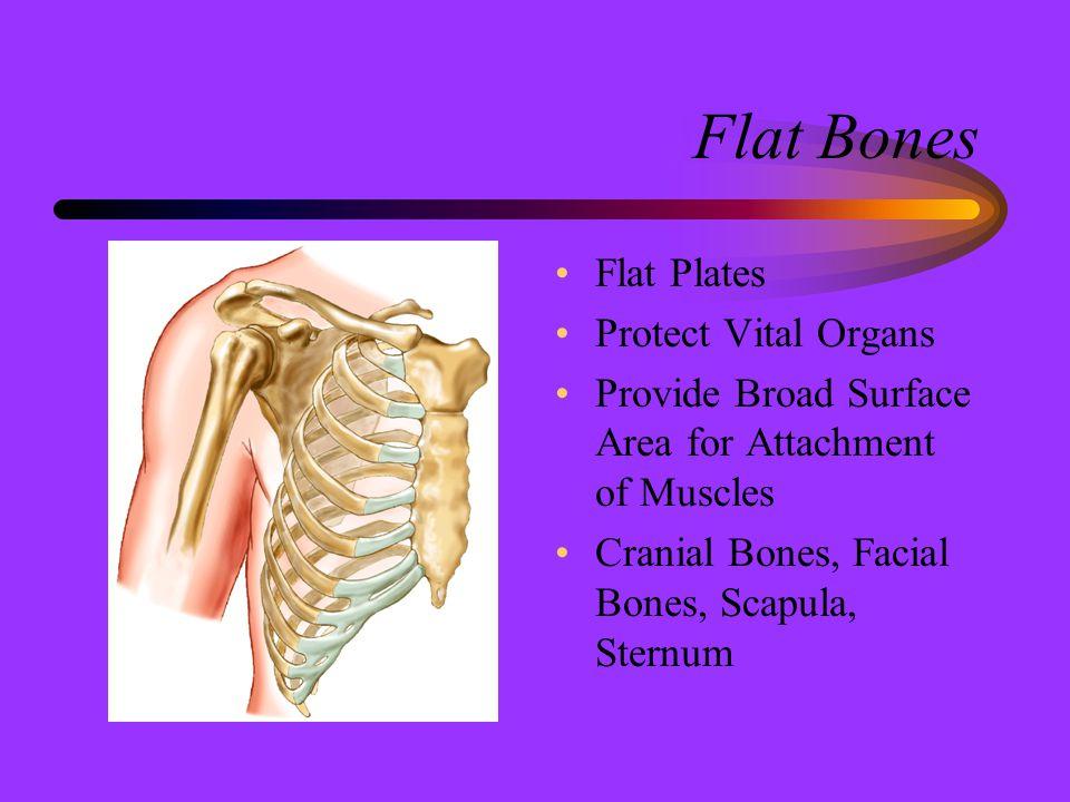 Flat Bones Flat Plates Protect Vital Organs