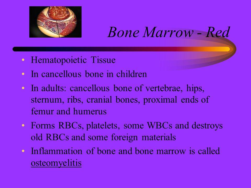Bone Marrow - Red Hematopoietic Tissue In cancellous bone in children