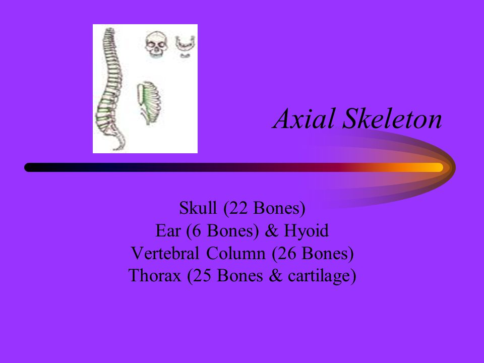 Axial Skeleton Skull (22 Bones) Ear (6 Bones) & Hyoid