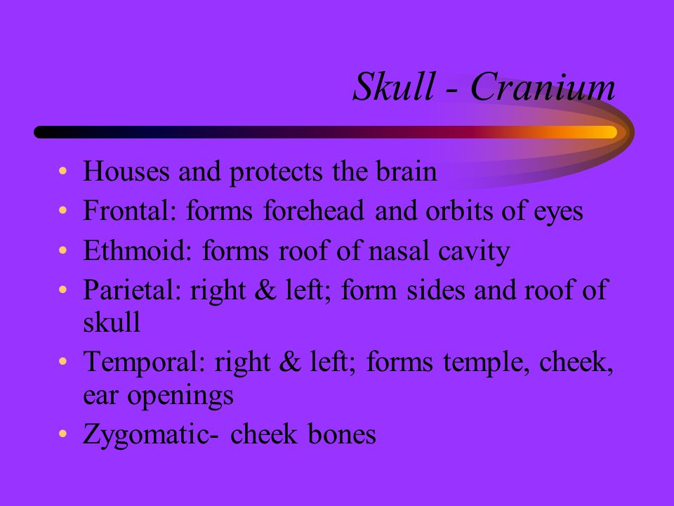 Skull - Cranium Houses and protects the brain