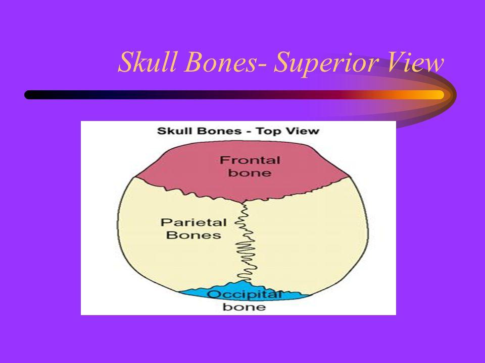 Skull Bones- Superior View