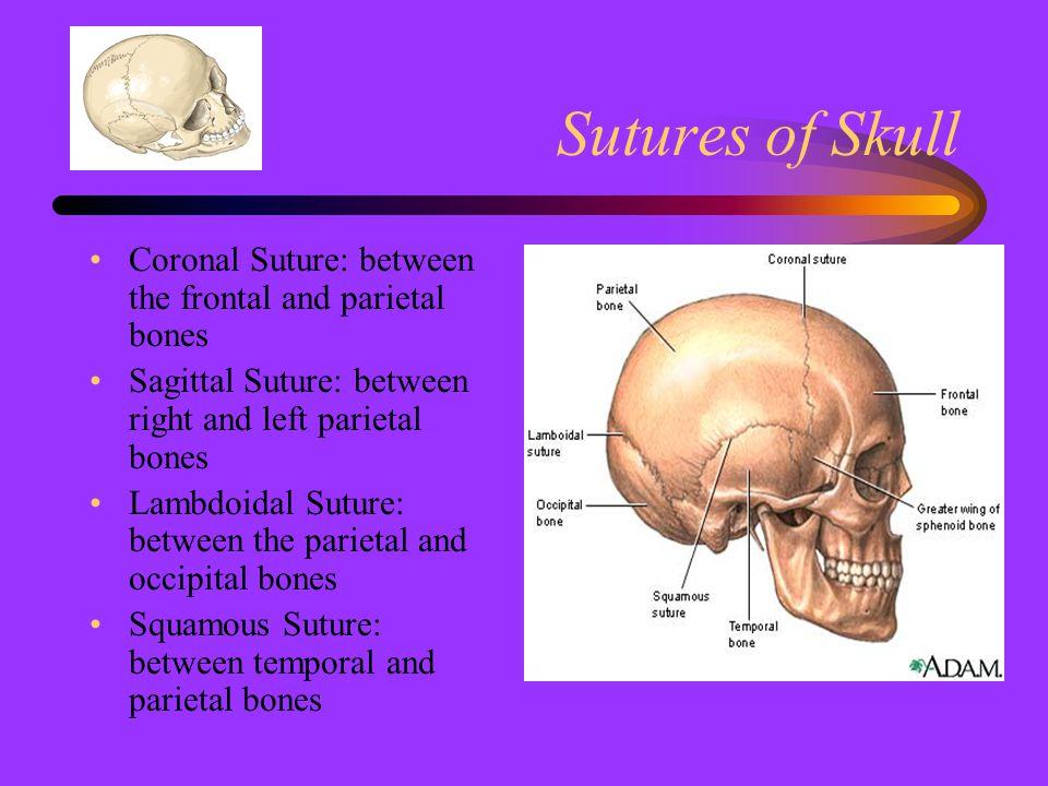 Sutures of Skull Coronal Suture: between the frontal and parietal bones. Sagittal Suture: between right and left parietal bones.
