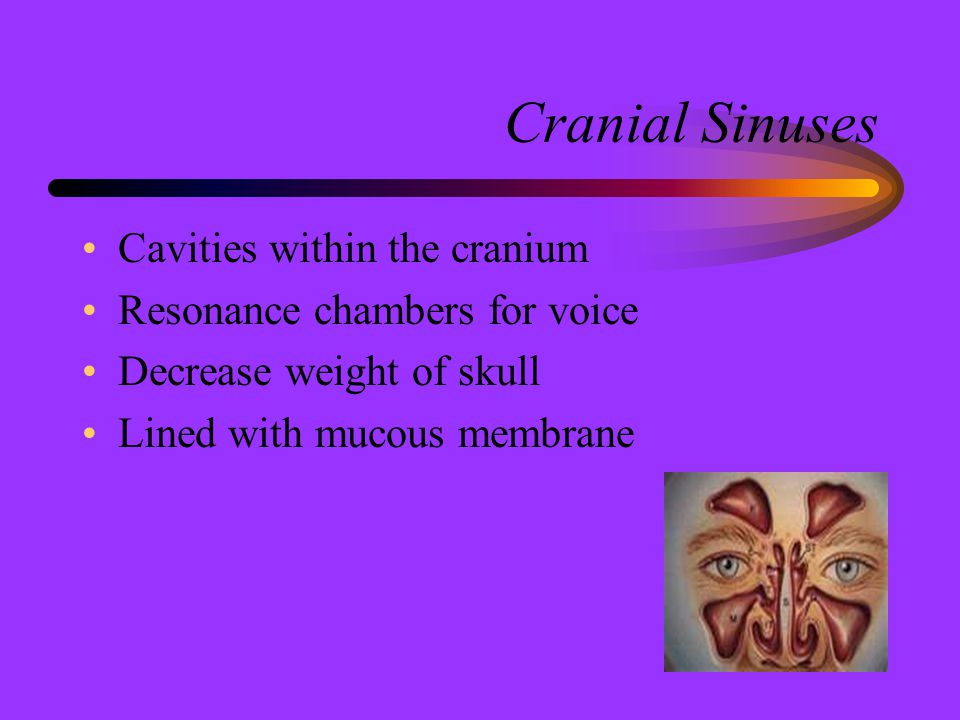Cranial Sinuses Cavities within the cranium
