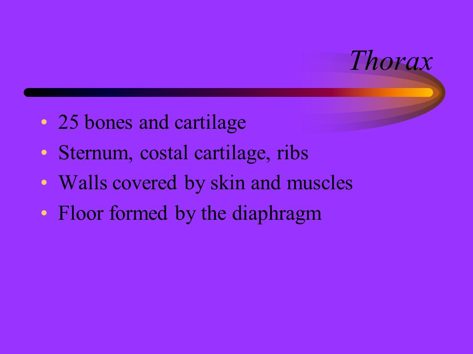 Thorax 25 bones and cartilage Sternum, costal cartilage, ribs
