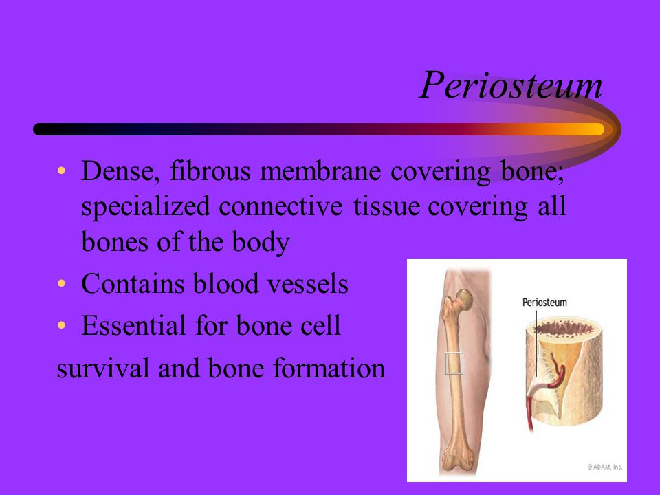 Periosteum Dense, fibrous membrane covering bone; specialized connective tissue covering all bones of the body.