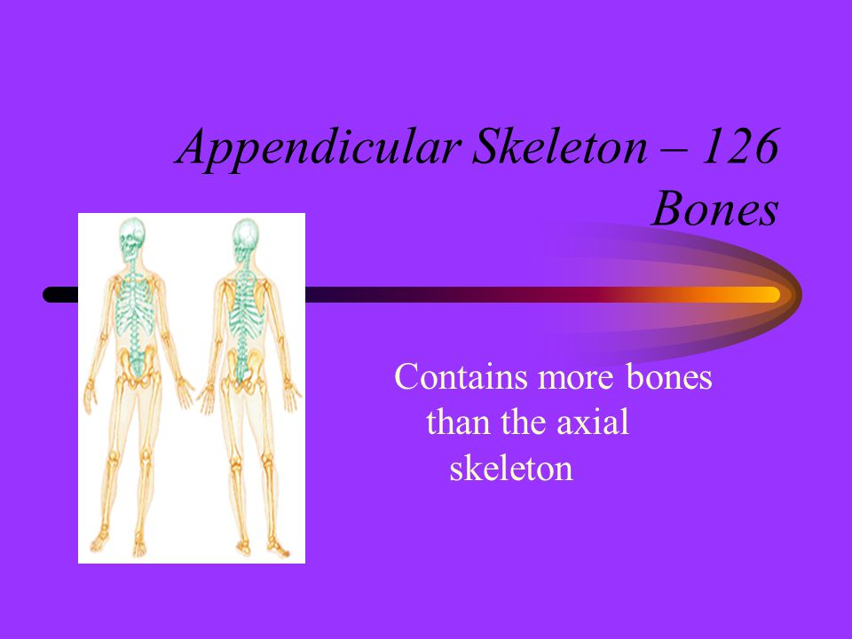 Appendicular Skeleton – 126 Bones