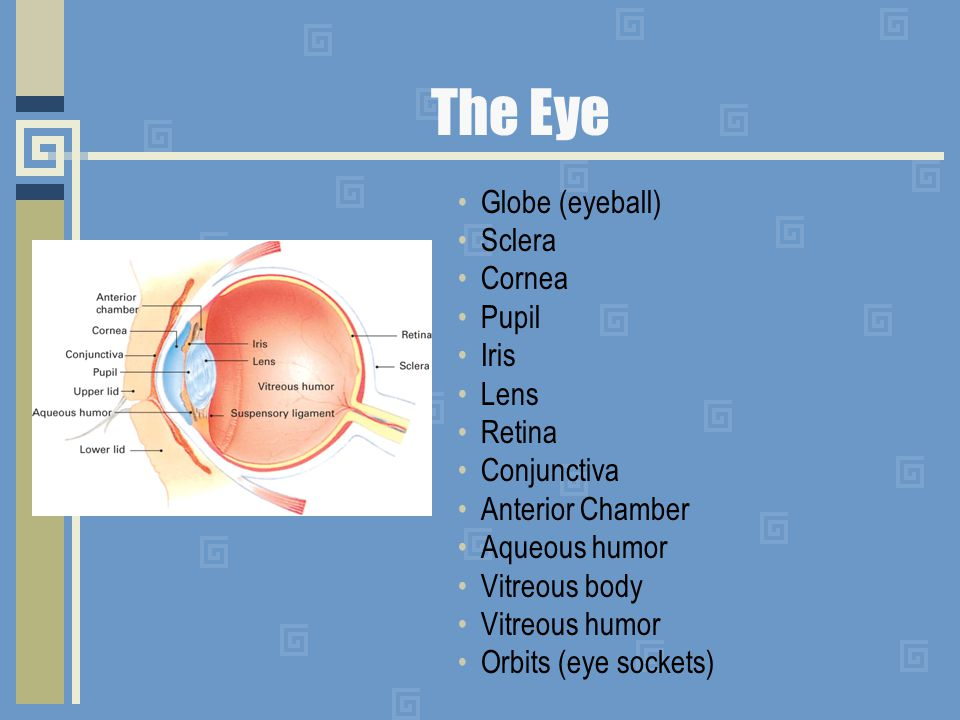 The Eye Globe (eyeball) Sclera Cornea Pupil Iris Lens Retina