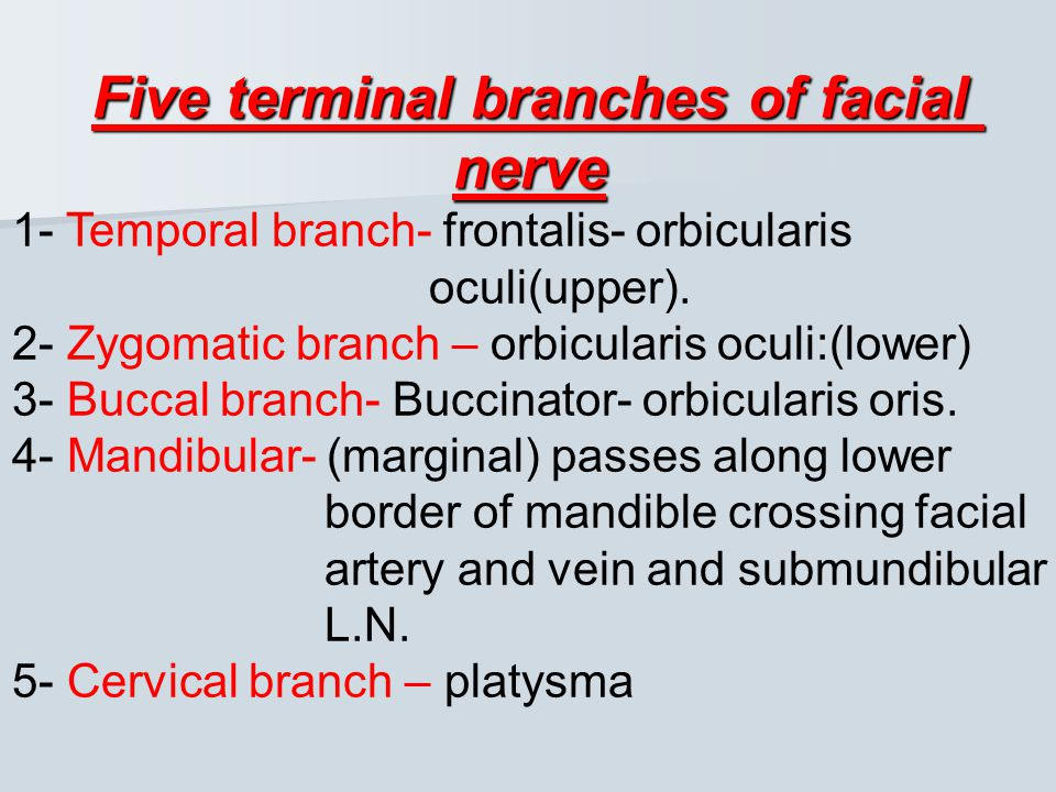 Five terminal branches of facial nerve