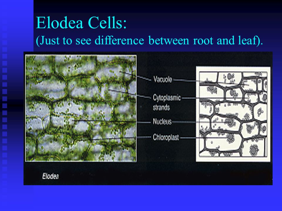 Elodea Cells: (Just to see difference between root and leaf).