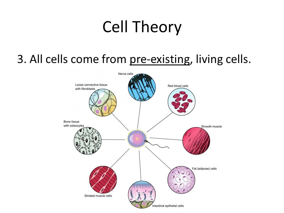 Cell Theory 3. All cells come from pre-existing, living cells.