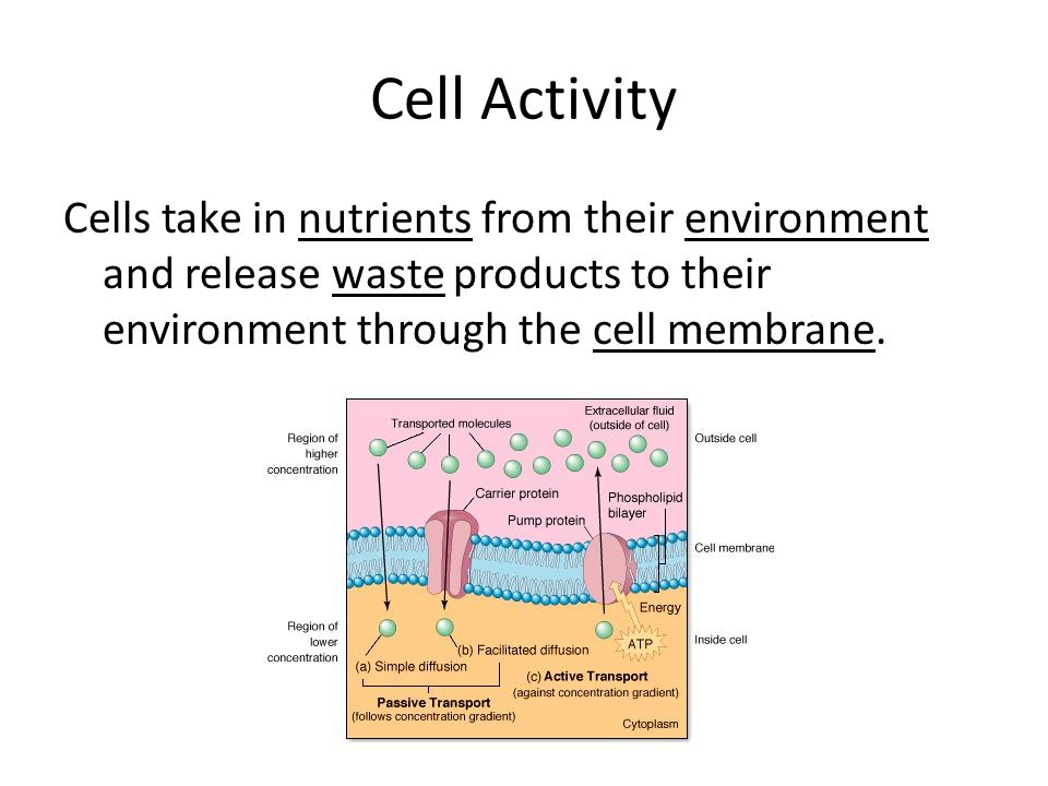 Cell Activity Cells take in nutrients from their environment and release waste products to their environment through the cell membrane.