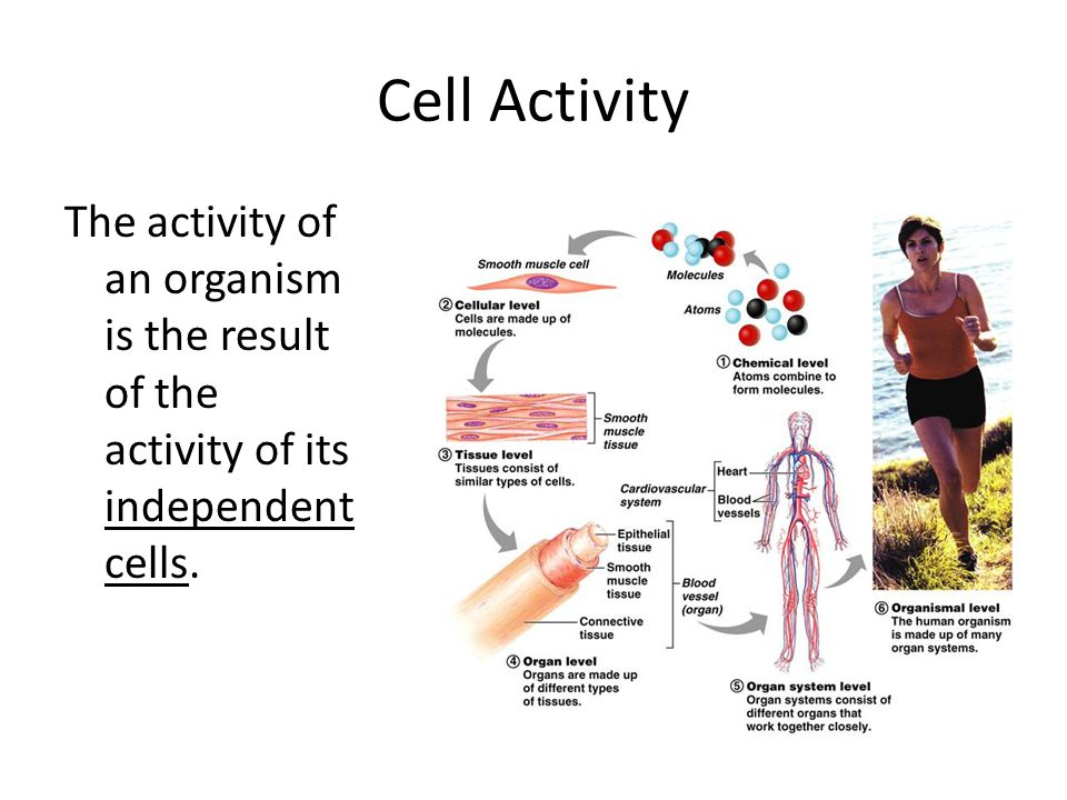 Cell Activity The activity of an organism is the result of the activity of its independent cells.
