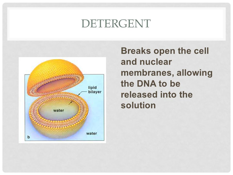 Detergent Breaks open the cell and nuclear membranes, allowing the DNA to be released into the solution.