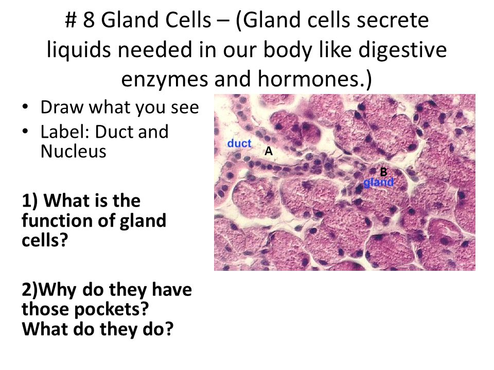 # 8 Gland Cells – (Gland cells secrete liquids needed in our body like digestive enzymes and hormones.)