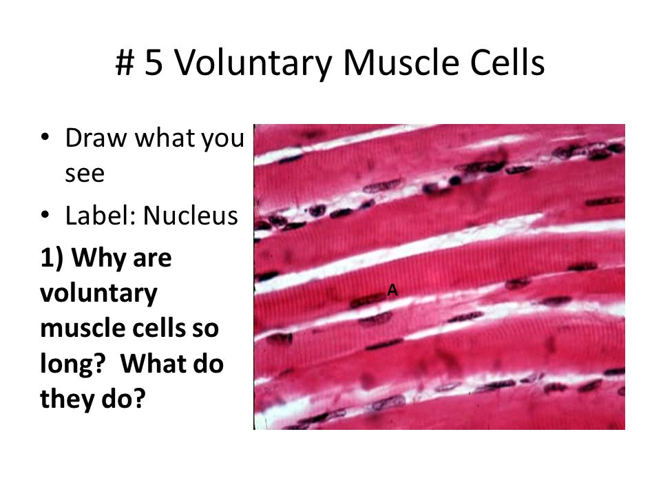 # 5 Voluntary Muscle Cells