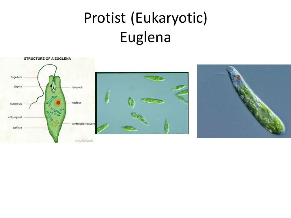 Protist (Eukaryotic) Euglena