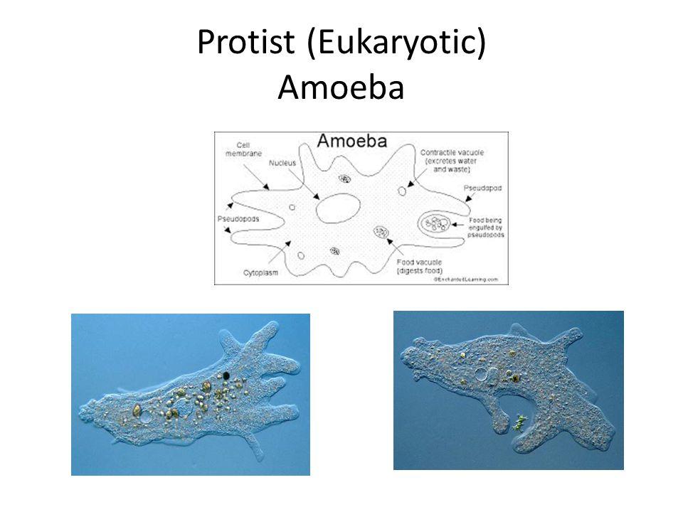 Protist (Eukaryotic) Amoeba