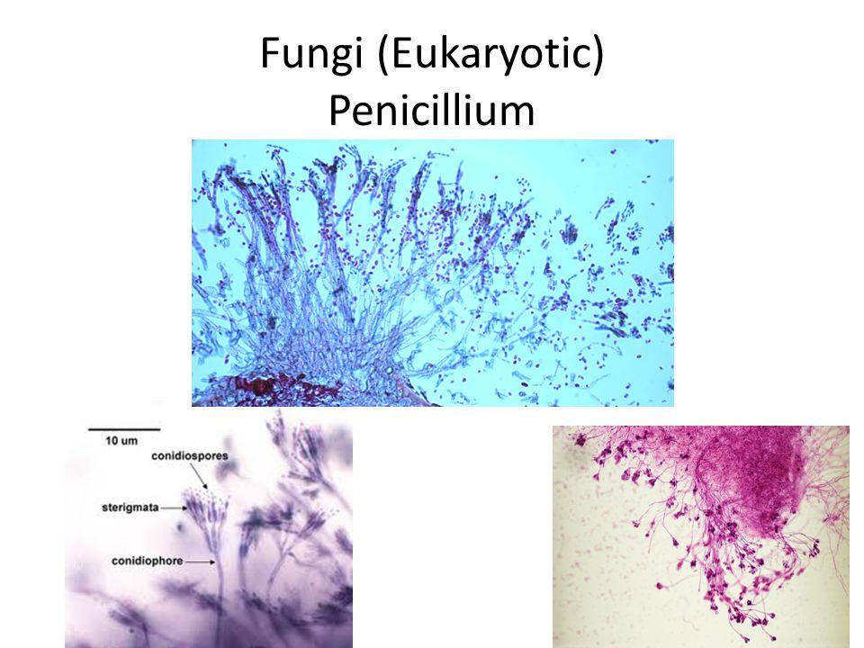 Fungi (Eukaryotic) Penicillium
